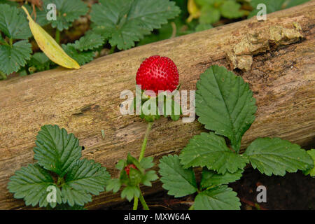 Single bright red raspberry growing on the forest floor, selective focus - Stock Photo
