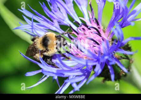 Honey bee on Montana cornflower at Manito Park in Spokane, Washington. - Stock Photo