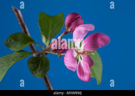 Crab apple flower against blue backdrop. - Stock Photo