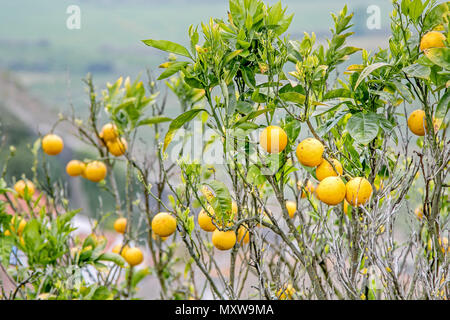 Oranges are ripening on the tree in Obidos, Portugal. - Stock Photo
