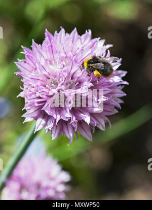 A bee pollinates the flowers of a chive, Allium schoenoprasum, while collecting pollen in a Northumberland garden - Stock Photo