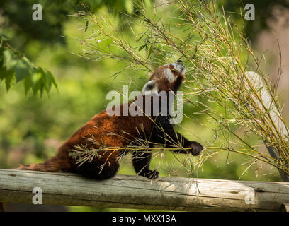 Cute animal, one red panda bear eating bamboo. Animal sitting on a log, holding a bamboo branch while stretching towards green leaves. Green forest in the background. - Stock Photo