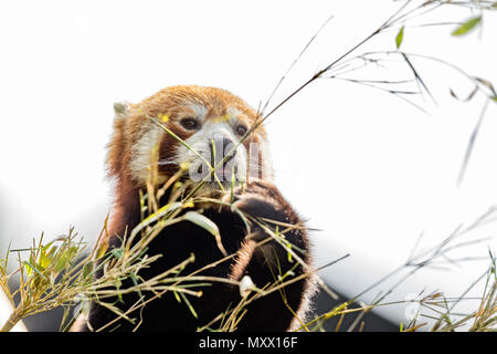 Cute animal, one red panda bear eating bamboo, while holding a bamboo branch with its paws. Light sky background - Stock Photo