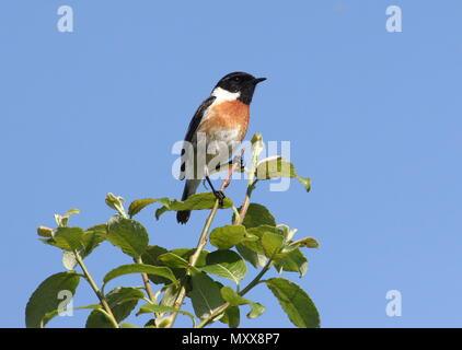 Male European Stonechat (Saxicola rubicola) in closeup - Stock Photo