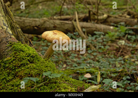 Wild forest mushroom and moss on a tree trunk in the woods, selective focus - Stock Photo