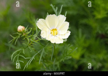 Cosmos 'Xanthos' flower. - Stock Photo