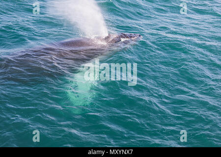 Humpback whale blowing out air ready to dive on iceland - Stock Photo