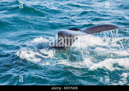 Humpback whale diving, tail out of the sea on iceland - Stock Photo