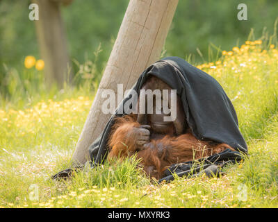 Adult male Bornean Orangutan - Pongo pygmaeus - sitting outdoors in green grass, partly hiding under a black blanket. Looking shy, thoughtful and introvert. - Stock Photo