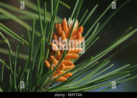 Mediterranean pine tree blossom or flowers Latin pinus pinea also called umbrella, parasol or Italian stone pine not maritime pine pinus pinaster - Stock Photo