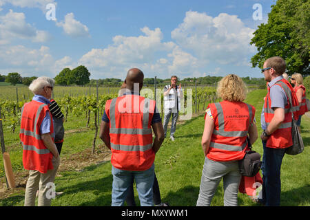 Guided tour of the vineyards and winery at Chapel down, Small Hythe, Tenterden, Kent, England, UK - Stock Photo