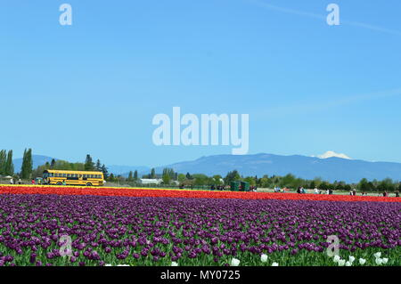 Skagit Valley Tulip Festival in bloom - Stock Photo