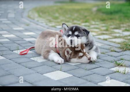 two puppies Husky. Litter dogs sleeping on the street - Stock Photo