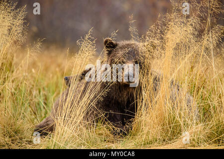 Grizzly bear (Ursus arctos) Family resting from hunting sockeye salmon in a salmon river, Chilcotin Wilderness, British Columbia BC, Canada - Stock Photo