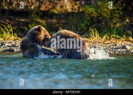 Grizzly bear (Ursus arctos) Hunting spawning salmon. Chilcotin wilderness, British Columbia BC, Canada - Stock Photo