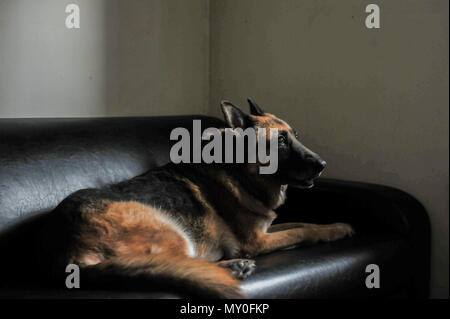 Stella, 8th Security Forces Squadron military working dog, lays on a couch inside the MWD compound at Kunsan Air Base, Republic of Korea, Nov. 11, 2016. Stella has come to the end of her military service and will be retiring because of lumbosacral disease, which is the degeneration of the joints, spine and compression of the nerves causing lower back discomfort as well as leg pain. (U.S. Air Force photo by Senior Airman Colville McFee/Released) - Stock Photo