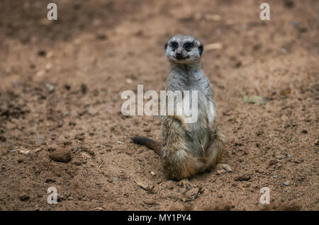 Funny meerkat sits on sand ground for guarding and safety and looks around - Stock Photo