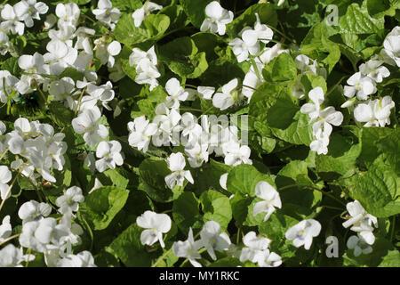 white viola odorata, top view - Stock Photo