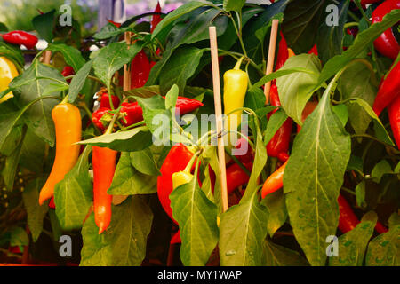 Ripe chili peppers and peppers hang on a shrub - Stock Photo