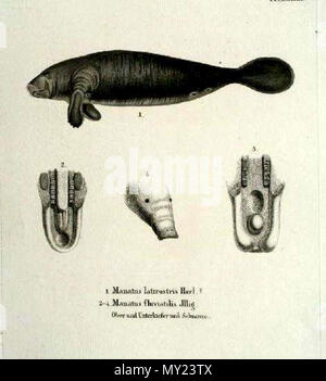. Manatus latirostris Harl, Manatus fluviatilis Jllg. Fossilworks PaleoDB link: Manatus latirostris equals Trichechus manatus latirostris Note: Manatus fluviatilis ILLIGER, Abhandl. d. Kön. Akad. d. Wissens. in Berlin, 1809-1811, p. 110. This name, given without diagnosis, appears with M. americanus in a list of South American mammals and is a en:nomen nudum.[1] . Etching, time of origin: ca. 1835. Johann Andreas Fleischmann (1811-1878) 491 Sirenia latirostris and Sirenia fluvatilis - Stock Photo