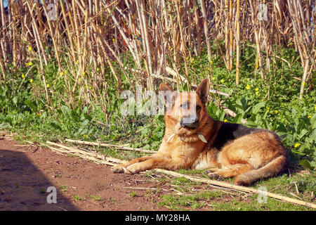 German shepherd dog lying on muddy soil in nature on a sunny day - Stock Photo