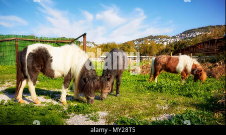 Group of cute little pony grazing on the green fields of a ranch - Stock Photo