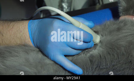 Veterinary doctor makes an ultrasound examination of a cat. Cat on ultrasound diagnosis in a veterinary clinic. Medical ultrasound. - Stock Photo