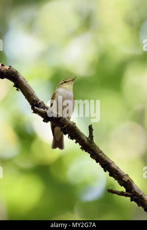 Wood Warbler / Waldlaubsänger ( Phylloscopus sibilatrix ), New World Warbler, male in breeding dress, perched on a branch high up in the woods, wildli - Stock Photo