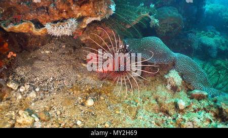 Lionfish on coral reef. Dive, underwater world, corals and tropical fish. Philippines, Mindoro. Diving and snorkeling in the tropical sea. Travel concept. - Stock Photo