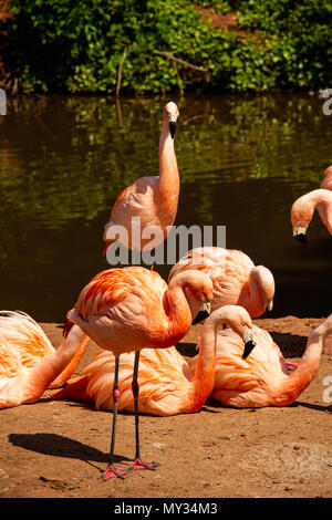 A group of Flamingos resting by the river side. Taken at Paignton Zoo in Devon,UK - Stock Photo