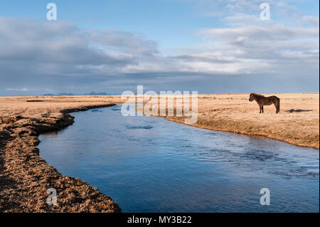 South Iceland. An Icelandic horse by the Holtsá river, just south of  Eyjafjallajökull, seen in the early morning from the Ring Road - Stock Photo