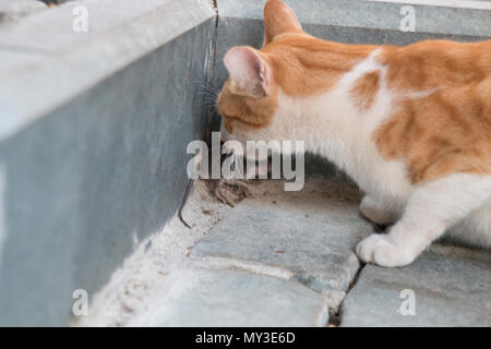 A stray cat is catching and biting a mouse - Stock Photo