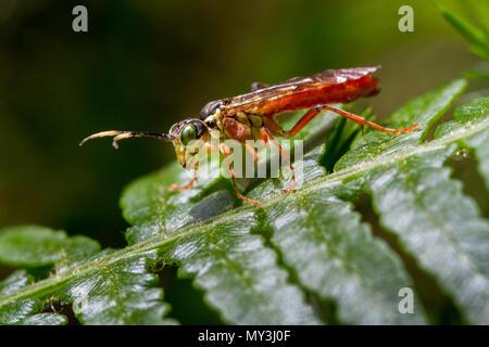 UK wildlife: Sawfly (Tenthredo livida) perched on bracken in the countryside, Yorkshire - Stock Photo