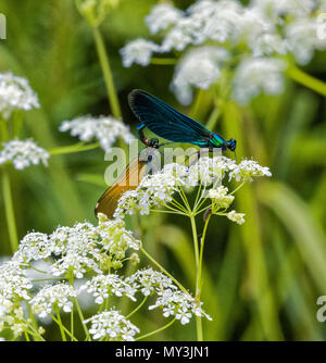 A pair of Beautiful Demoiselle (Calopteryx virgo) damselflies mate on cow parstey in Sussex.  The mature male is bright blue. - Stock Photo