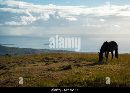Horses in Easter Island walking free and eating - Stock Photo