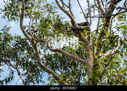 Koala in the tree relaxing and sleeping in Australia - Stock Photo