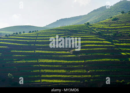 Bird's eye view of wine yards in the valley of the Douro Ervedosa, Portugal. - Stock Photo