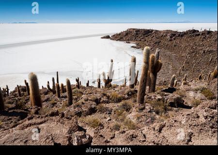 Trichoreceus Cactus on Isla Incahuasi (Isla del Pescado-Fish Island) in the middle of the world's biggest salt plain Salar de Uyuni, Bolivia - Stock Photo