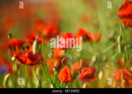 Beautiful poppies blooming in the summer field in Poland. - Stock Photo