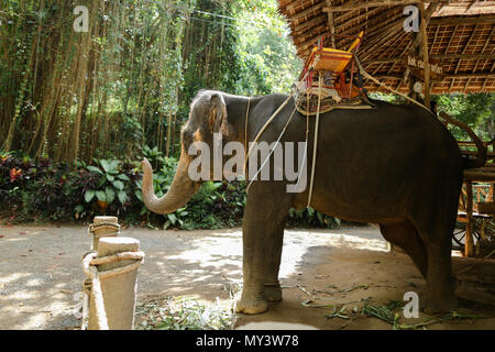 Tamed grey elephant standing with yellow saddle. - Stock Photo
