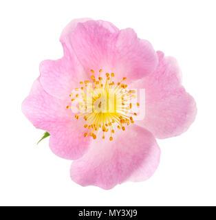 Dog rose (Rosa canina) flowers isolated on white background - Stock Photo