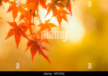 autumnal background, slightly defocused red maple leaves with water drops - Stock Photo