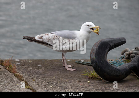 Gulls or seagulls are seabirds of the family Laridae in the suborder Lari - Stock Photo