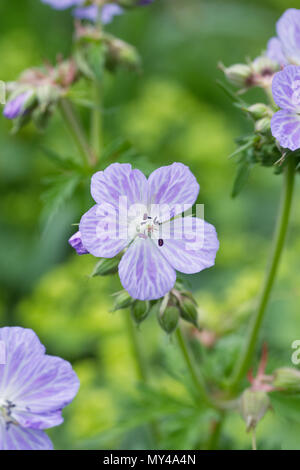 Geranium pratense 'Mrs Kendall Clark' flowers. - Stock Photo