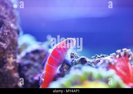Catalina goby sits perched on some rocks amid rock flower anemones. - Stock Photo
