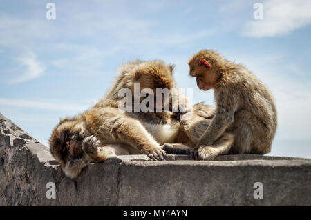 Colony of Barbary macaques on top of the Rock of Gibraltar grooming each other in the sun - Stock Photo