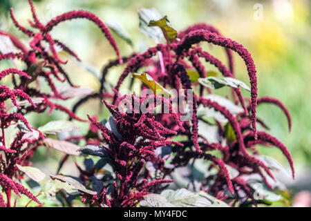 Tassel flower or Love-lies-bleeding, Amaranthus caudatus - Stock Photo