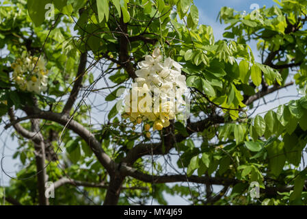 Tropical tree branch with big leaves isolated on white background tropical big tree branch background beautiful yellow and white tropical flowers on the big island of hawaii stock photo mightylinksfo