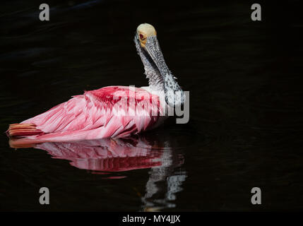Roseate Spoonbill in Florida - Stock Photo
