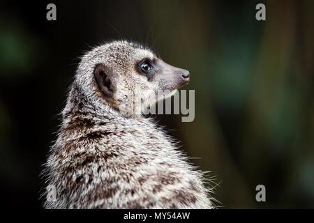 Meerkat animal - Stock Photo